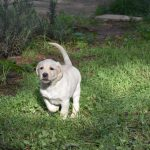 Cucciolo di Labrador Retriever giallo che corre sul prato