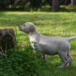 Cucciolo di Labrador Retriever giallo