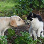 Cucciolo di Labrador Retriever giallo con gatto