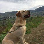 Labrador Retriever giallo seduto in campagna