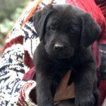 Labrador Retriever nero cucciolo