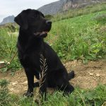 Labrador Retriever nero in campagna