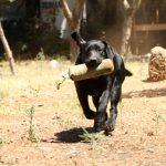 Labrador Retriever nero che corre durante un riporto