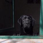 Labrador affacciato alla finestra