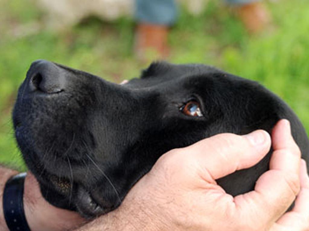 Labrador Retriever nero con testa tra le mani