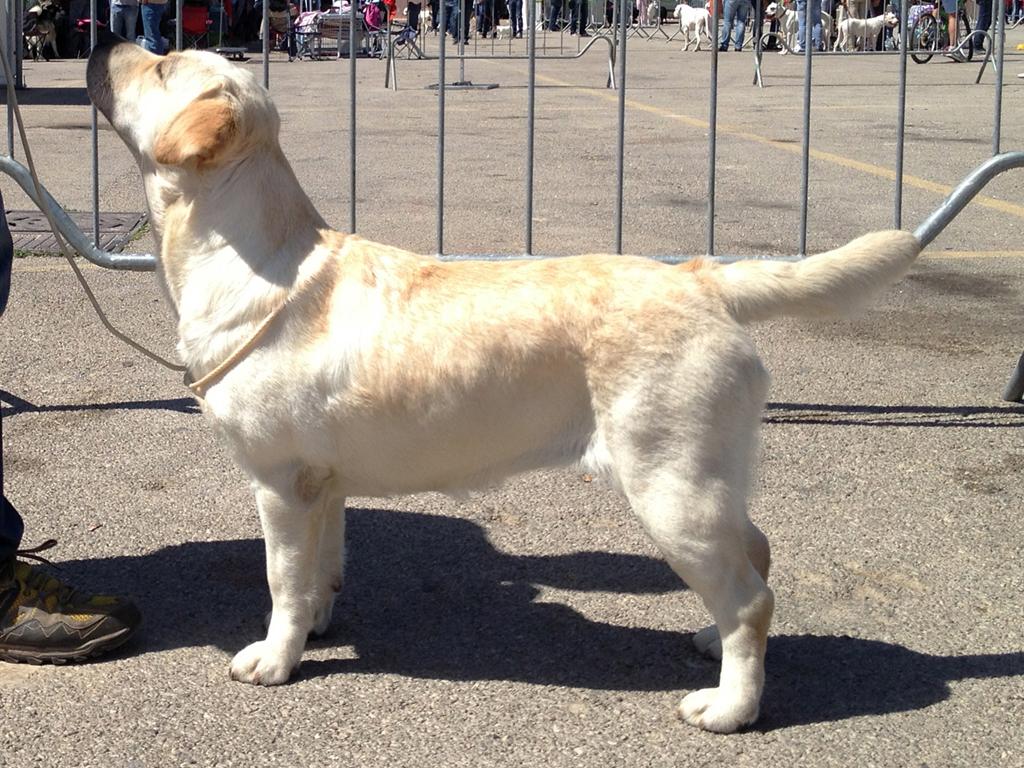 Labrador Retriever giallo in piedi