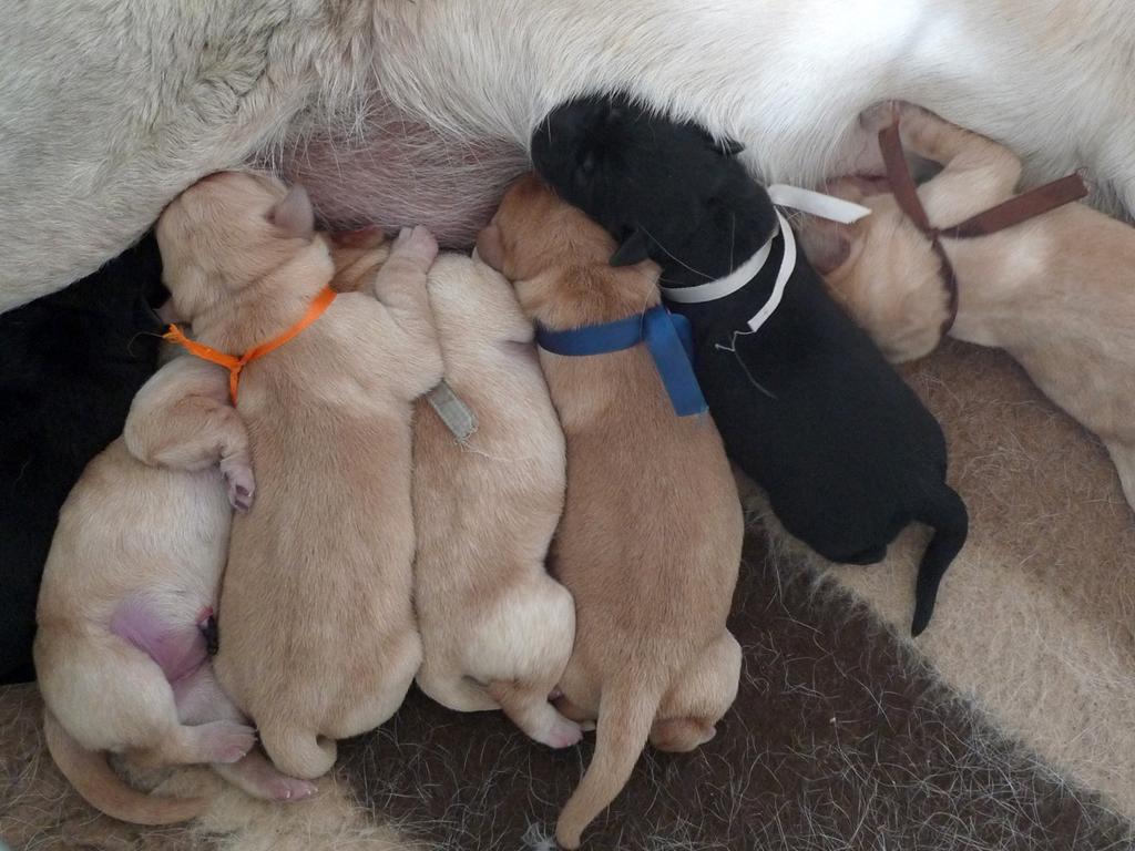Cuccioli di Labrador Retriever giallo e nero