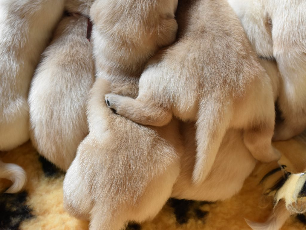 Cuccioli di Labrador Retriever giallo