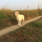 Labrador Retriever Rocheby giallo in piedi in campagna
