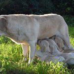 Labrador Retriever Rocheby giallo che allatta con cuccioli