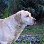 Primo piano di Labrador Retriever Rocheby giallo