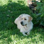 Labrador Retriever Rocheby giallo sul prato