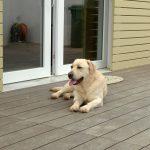 Labrador Retriever Rocheby giallo a terra