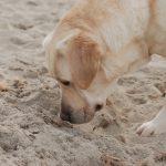 Labrador Retriever Rocheby giallo in spiaggia