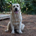 Labrador Retriever Rocheby giallo seduto in campagna