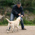 Labrador Retriever Rocheby giallo in addestramento con Fabrizio