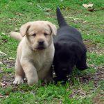 Cuccioli di Labrador Retriever giallo e nero sul prato