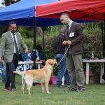 Labrador Retriever giallo Cleo in piedi in esposizione di Siracusa