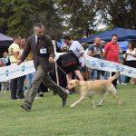 Labrador Retriever giallo Cleo che corre in esposizione di Siracusa