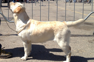 Labrador giallo in piedi