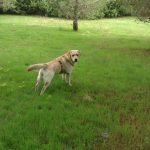Labrador Retriever giallo Lois in piedi sul prato