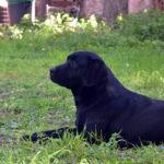 Labrador nero sul prato