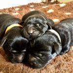Tre cuccioli di Labrador Retriever nero