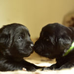 Cuccioli di Labrador Retriever nero