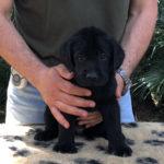 Cucciolo di Labrador Retriever nero