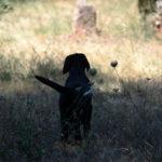 Cucciolo di Labrador Retriever nero in un campo