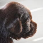 Cucciolo Labrador chocolate